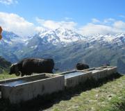 koeien op een alpenweide